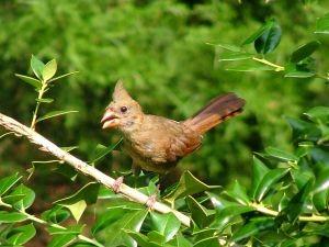 cardinalbaby